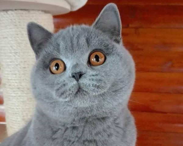 Intervju: Melanija Rejc s kratkodlakimi britankami - inteligentne in zveste mačke