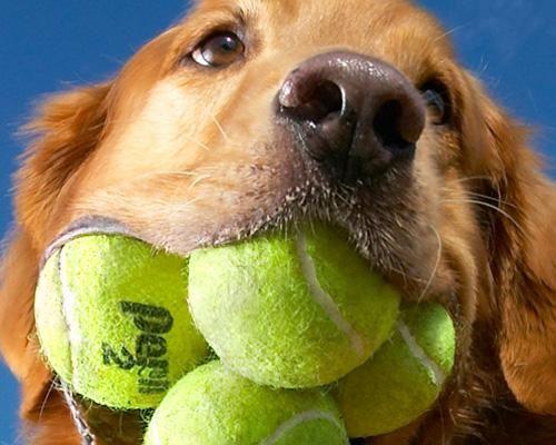 Zakaj so tenis žogice škodljive za kužke?