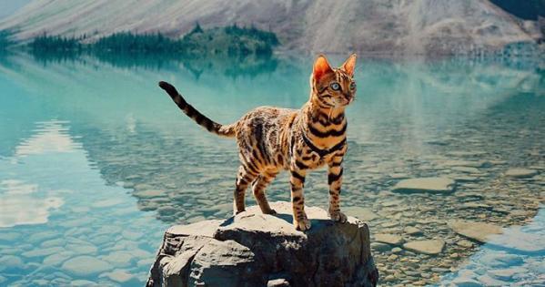 Bengalska mačka: naravnost čudovita pasma!