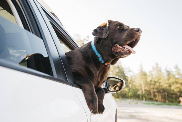 Kako prevažati pse in mačke v avtomobilu?