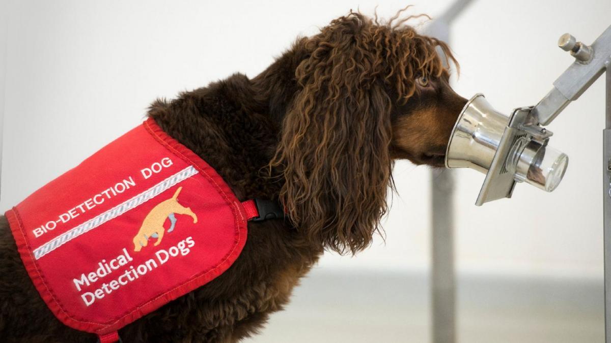 Lahko psi zavohajo COVID-19?