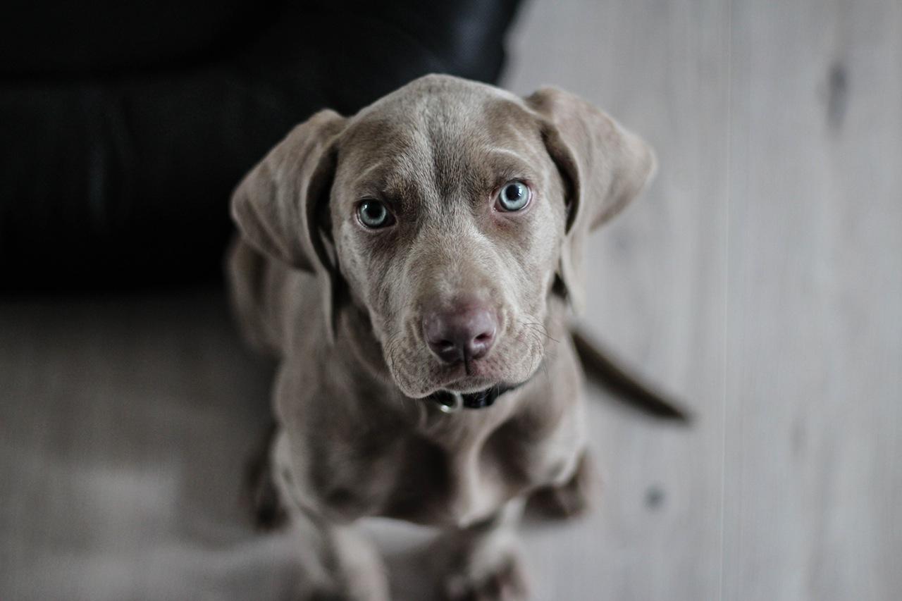weimaraner-puppy-dog-snout-97082